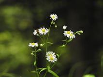 Kleine weiße Gänseblümchen Stockfoto