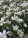 Kleine weiße Gänseblümchen im Frühjahr im Garten Stockbild