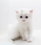 Kleine weiße Katze Lizenzfreie Stockfotografie
