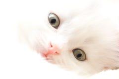 Kleine weiße Katze Lizenzfreies Stockfoto