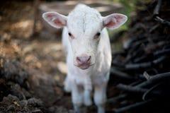 Kleine weiße Kuh Stockbild
