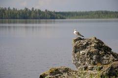 Kleine weiße Möve auf einem See Stockbilder