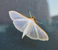 Kleine weiße Motte auf Glasfenster Lizenzfreies Stockfoto