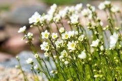 Kleine weiße natürliche Blumennahaufnahme Stockbild