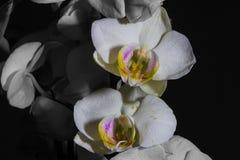 Kleine weiße Orchidee Lizenzfreies Stockbild
