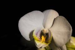 Kleine weiße Orchidee Stockfotos