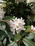 Kleine weiße Tulpe Stockbild