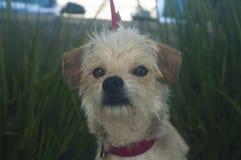 Kleine weiße und bräunen Terriermischzuchthund lizenzfreie stockfotos