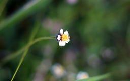 Kleine weiße und gelbe Blume mit unscharfem Hintergrund Lizenzfreie Stockfotografie