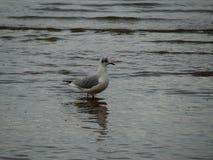 Kleine weiße und graue Seemöwe, die im grauen Wasser steht Stockfotos