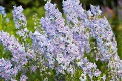 Kleine weiche blaue Blumen in der Laubnahaufnahme Lizenzfreie Stockfotos