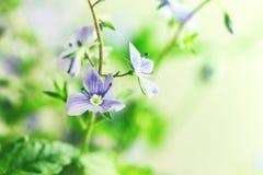 Kleine weiche blaue Blumen von Veronica-Perser, Makro Stockbilder