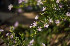 Kleine weiche rosa falsche Heide Blume Stockfotografie