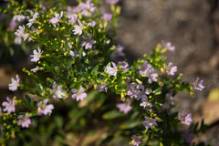 Kleine weiche rosa falsche Heide Blume Stockbilder