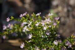 Kleine weiche rosa falsche Heide Blume Stockbild