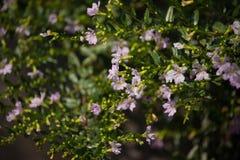 Kleine weiche rosa falsche Heide Blume Stockfotos