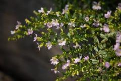 Kleine weiche rosa falsche Heide Blume Lizenzfreie Stockfotografie