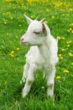 Kleine weiße Ziege Stockfoto