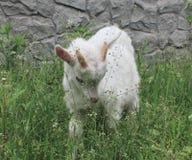 Kleine weiße Ziege Lizenzfreie Stockbilder