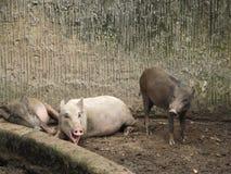 Kleine welpen van everzwijnen op een landbouwbedrijf of in een dierentuin in slecht onderhoud royalty-vrije stock fotografie