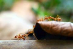 Kleine Welt der Ameise (Makro-, Umwelt des selektiven Fokus auf Blatthintergrund) Lizenzfreies Stockbild