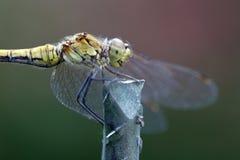 Kleine Welt: Libelle Stockbild