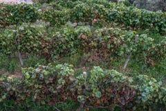Kleine wijngaard in Nadur Gozo royalty-vrije stock fotografie
