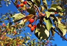 Kleine wilde appelen stock fotografie