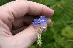 Kleine wilde bloemen ter beschikking Stock Afbeelding