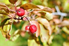 Kleine wilde rote Äpfel Stockfotografie