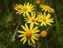 Kleine wildflower Royalty-vrije Stock Foto's
