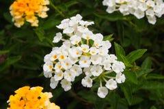 Kleine witte bloem Royalty-vrije Stock Foto's