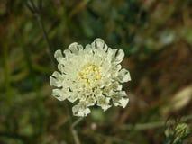 Kleine witte bloem Royalty-vrije Stock Afbeeldingen