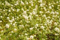 Kleine witte bloem langs de manier Royalty-vrije Stock Afbeeldingen