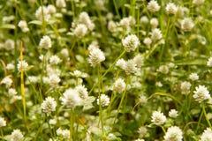 Kleine witte bloem langs de manier Royalty-vrije Stock Foto's