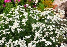 Kleine Witte Bloemen Royalty-vrije Stock Foto