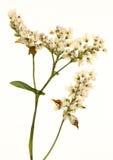 Kleine Witte Bloemen Stock Afbeelding