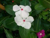 Kleine witte bloemen Stock Foto
