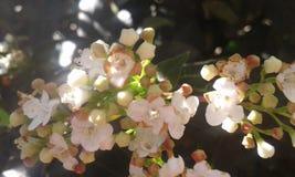 Kleine witte bloemen Royalty-vrije Stock Foto's