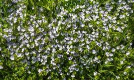 Kleine witte bloemen in het gras Stock Afbeeldingen