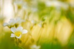 Kleine witte bloemen in het gras op een mooie achtergrond Royalty-vrije Stock Afbeeldingen