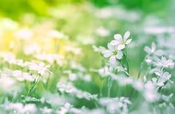 Kleine witte bloemen op een gebied op een mooie achtergrond Zachte selectieve nadruk Stock Afbeelding