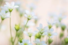 Kleine witte bloemen op een gevoelige roze achtergrond artistiek beeld van bloemensteenbreek royalty-vrije stock foto
