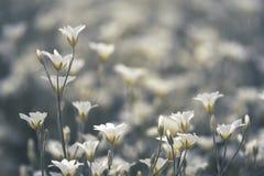 Kleine witte bloemen op een mooie Bloeiende cerastium als achtergrond Selectieve nadruk Royalty-vrije Stock Foto