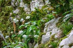 Kleine witte bloemen op een steenklip Alliumursinum, die als wild knoflook wordt bekend, ramsons, buckram, breedbladig knoflook,  royalty-vrije stock afbeelding