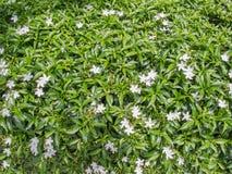 Kleine witte bloeminstallaties royalty-vrije stock afbeeldingen