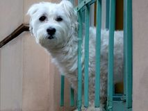 Kleine witte bont Bolognese hond in venster met blote groene grill royalty-vrije stock afbeeldingen