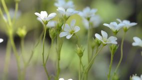Kleine witte de lentebloemen Macro met selectieve zachte nadruk stock video