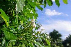 Kleine witte Gardeniabloemen Stock Foto