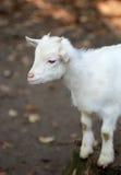 Kleine witte geit Royalty-vrije Stock Fotografie